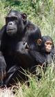 chimps 80 x 140 px