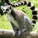 lemur-80px