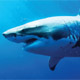 shark 80 px