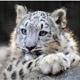 snow leopard 80 px
