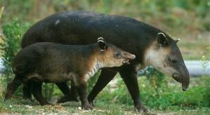 Juvenlie-Bairds-tapir